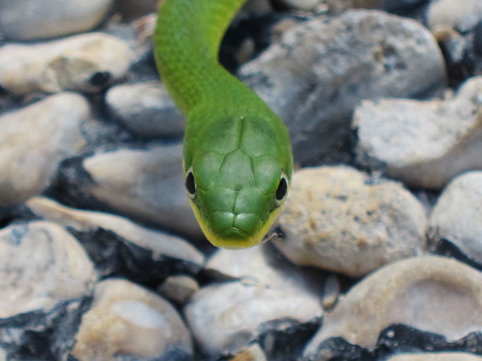 Photo - Rough green snake