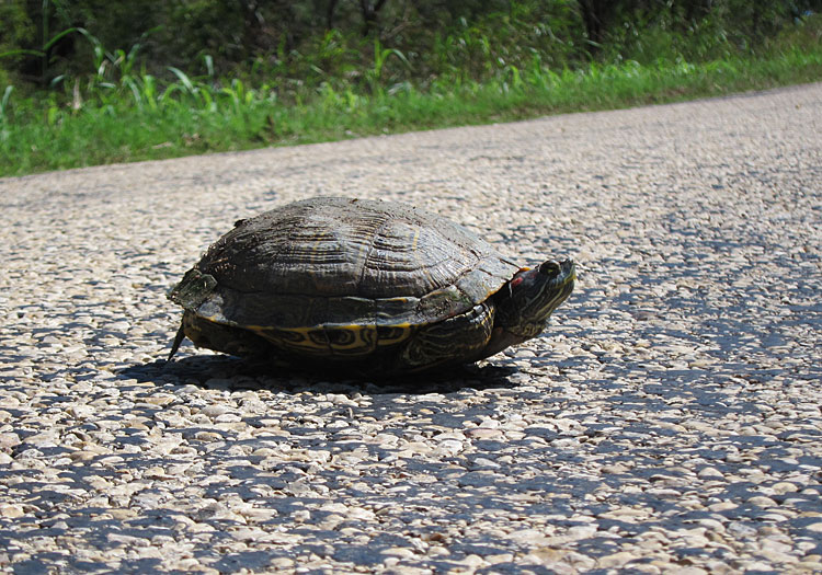 Photo - Turtle in road