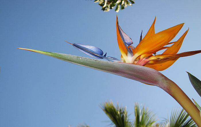 Photo of a flowering Bird of Paradise