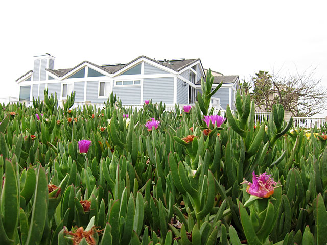 Photo of blooming ice plants