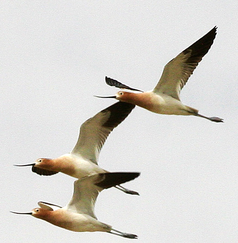 Photo - Flying American Avocets