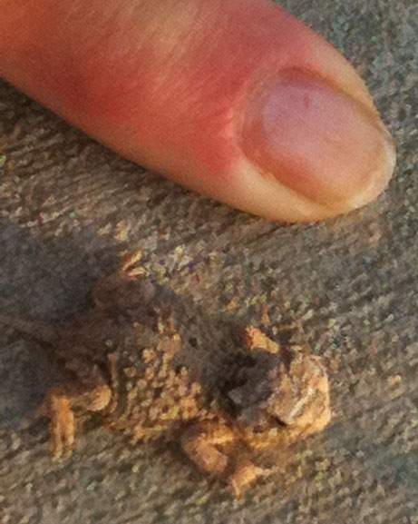 Photo - Tiny horned lizard