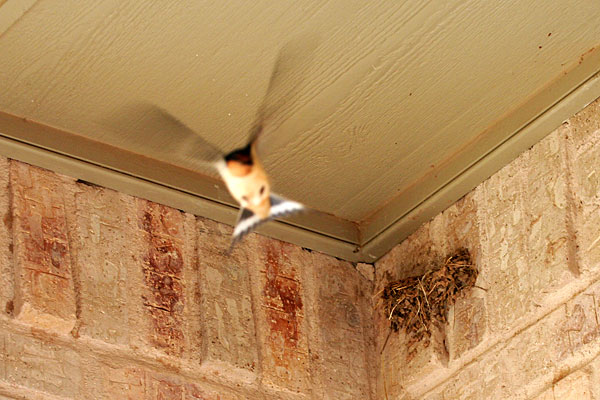 Photo - Barn Swallow Flying in Front of Nest