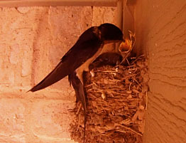 Photo - barn swallow feeding a baby