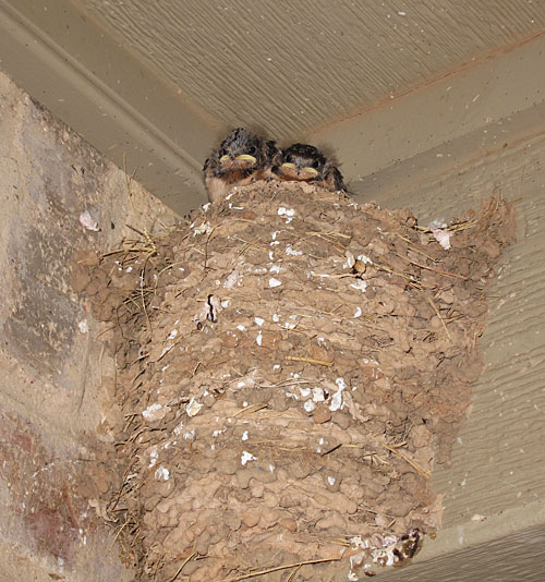 Barn swallow nest with two fledglings
