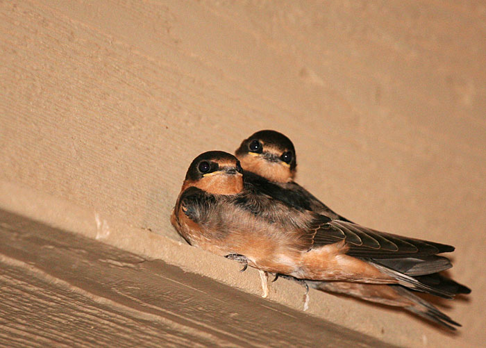 Photo - juvenile barn swallows huddled together