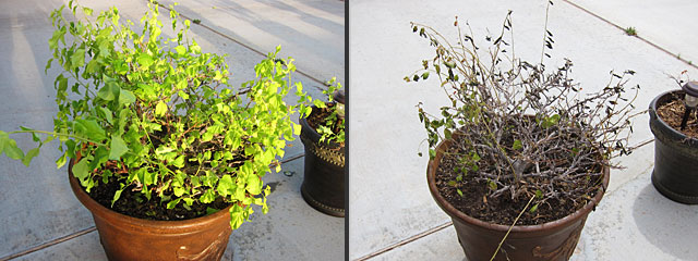 Before and after photos of bougainvillea, which are shocked by spring