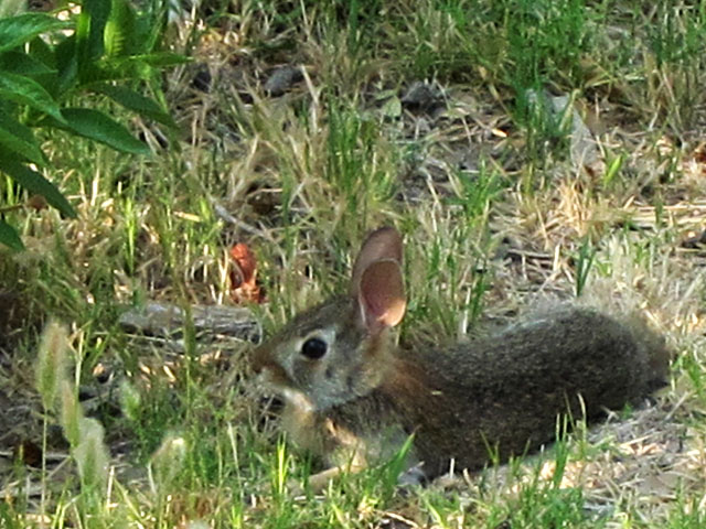 Photo - Cottontail rabbit relaxing