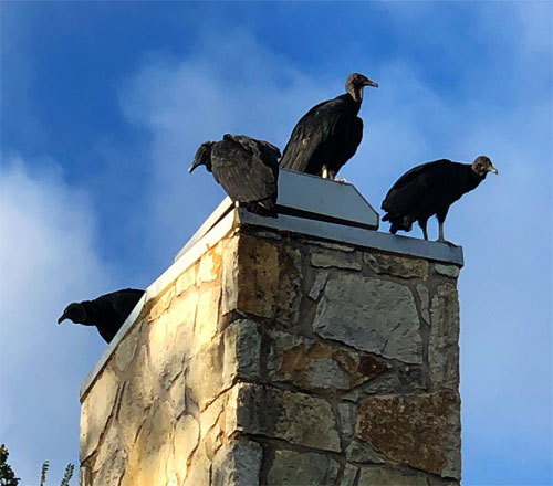 Photo of four buzzards perched on the chimney