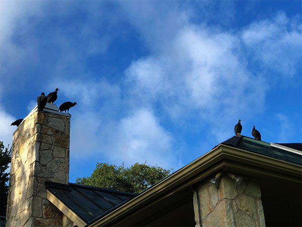 Photo of buzzards perched on the roof