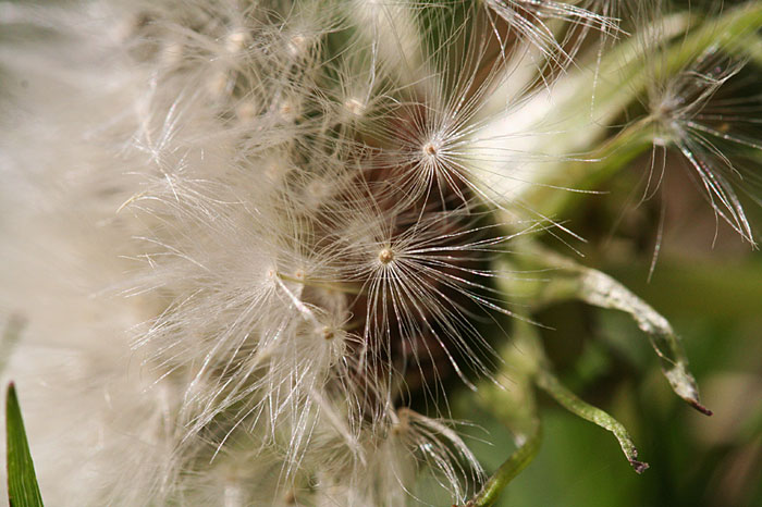 Photo - Dandelion blooms