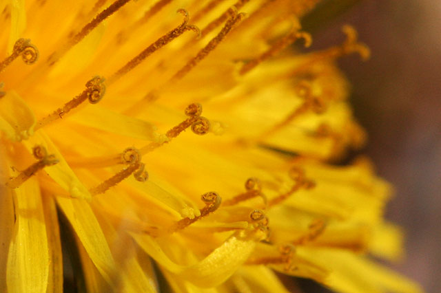Photo - Macro of dandelion flower