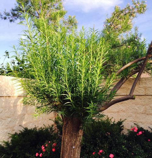 Tree on 6/5/15