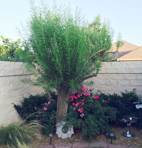 Tree on 6/25/15 after final pruning