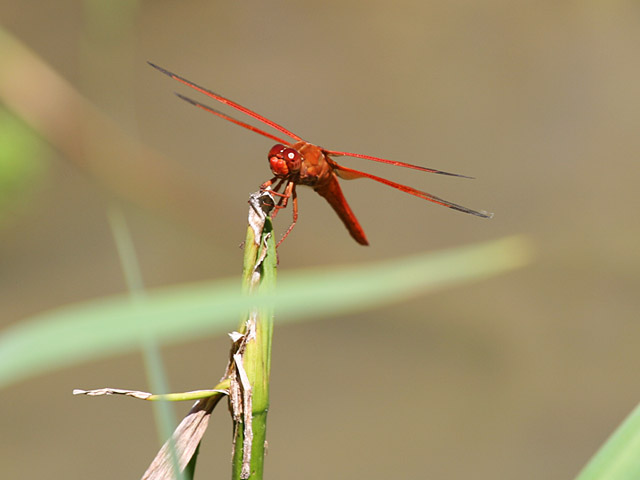 Photo - Scarlet Darter Dragonfly