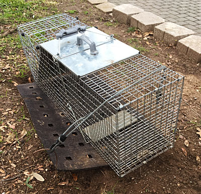 Empty raccoon trap