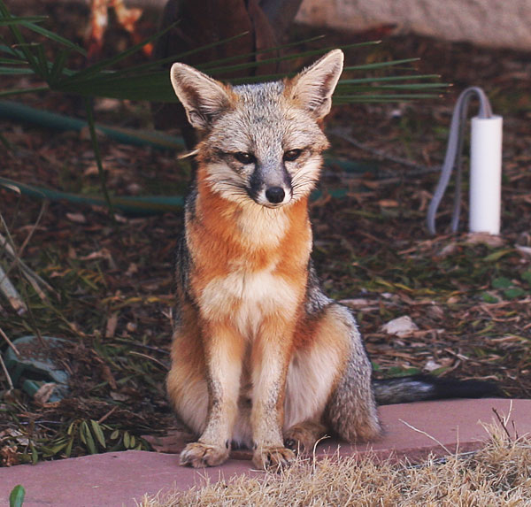 Photo - gray fox
