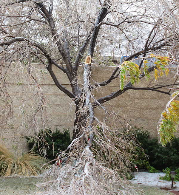 Desert willow encased in ice