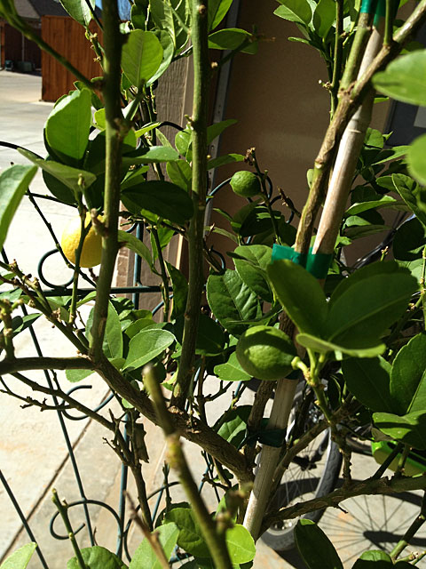 Photo - Mexican Lime Tree