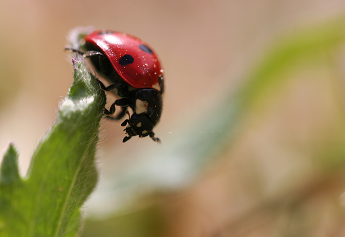 Photo - Ladybug