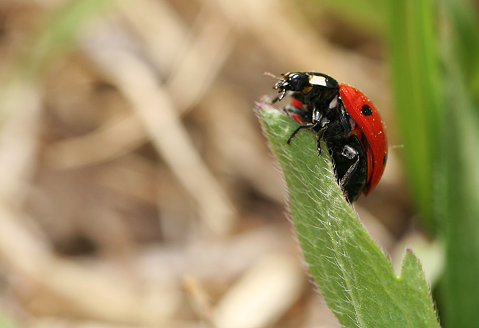 Photo - Ladybug