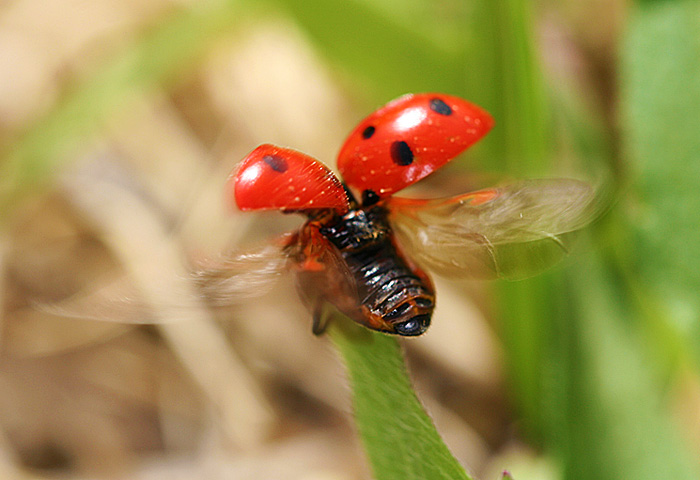 Photo - Ladybug with raised elytra and moving wings