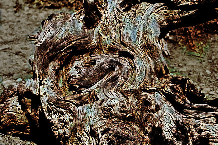 Dead mesquite