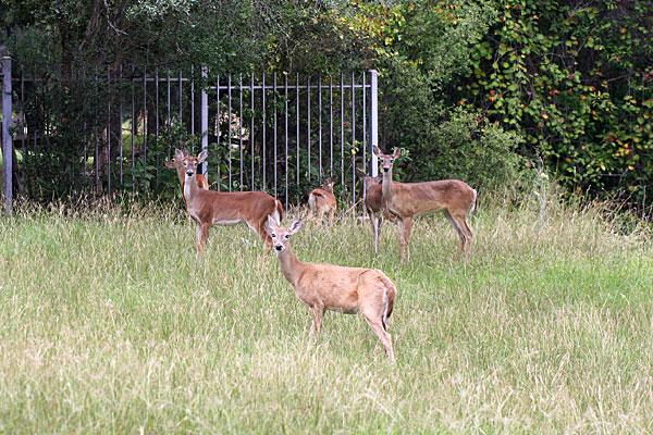 Photo of whitetail deer