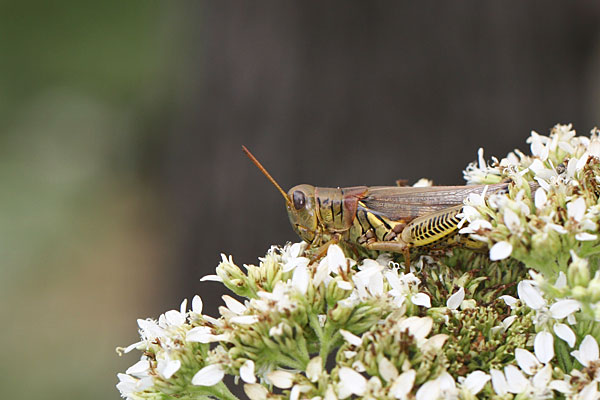 Photo of a grasshopper on flowers