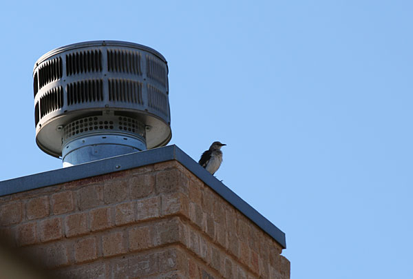 Mockingbird on our chimney