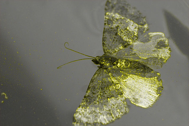 Photo - Moth floating in water