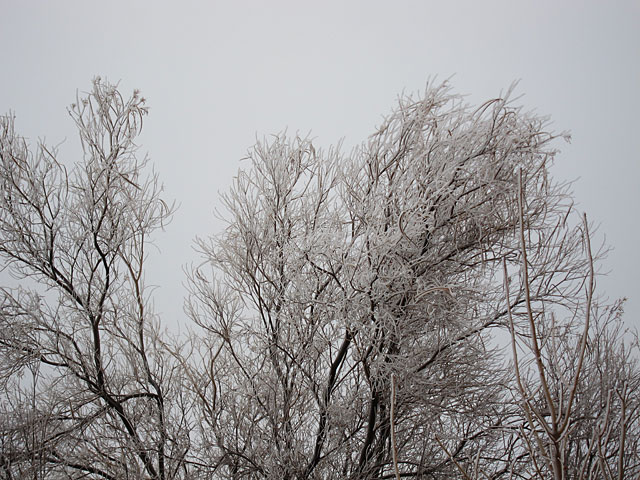Photo of an ice-covered desert willow