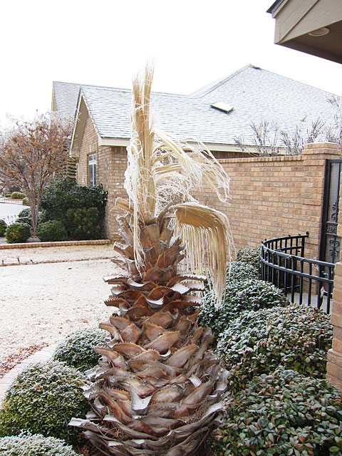 Photo of an ice-covered palm tree