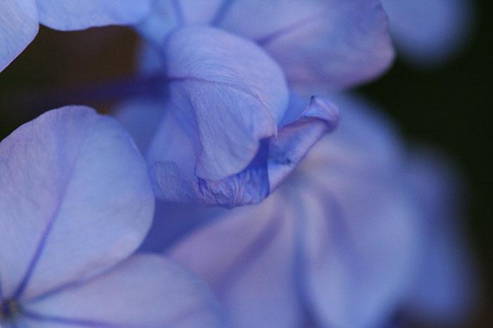 Photo - Plumbago blooms