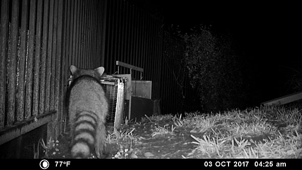 A raccoon approaches the trap