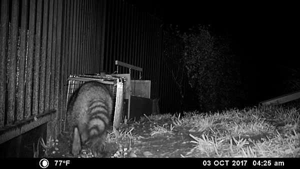 A raccoon enters the trap