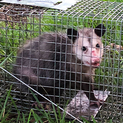 Possum in cage