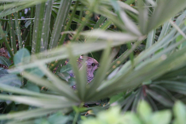 Photo of hiding quail