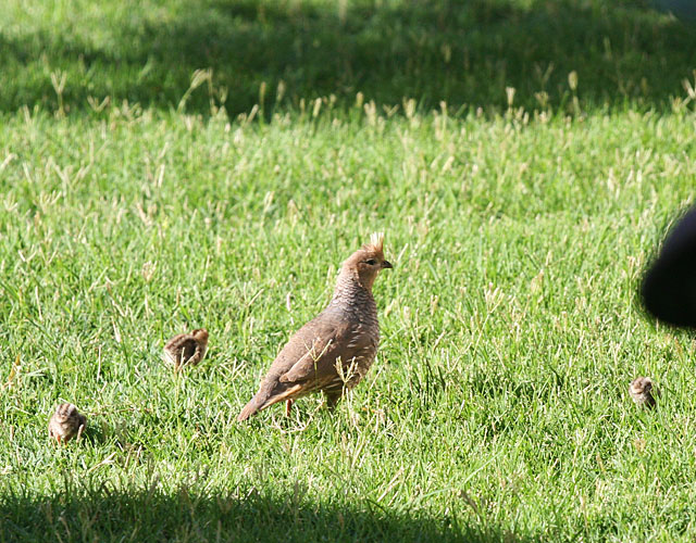 Adult blue quail and babies