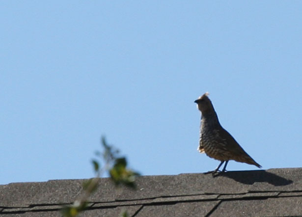 Close-up Photo - Quail on top of roof