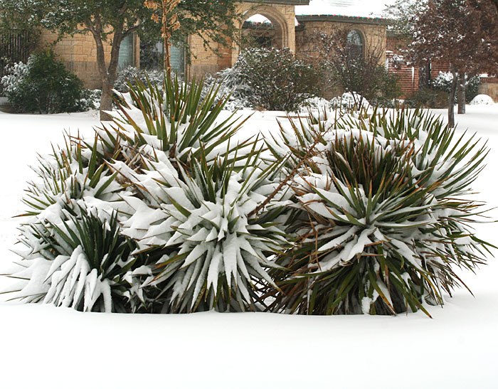Snow-covered yuccas