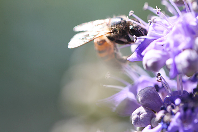 Cutter Bee on Vitex blooms