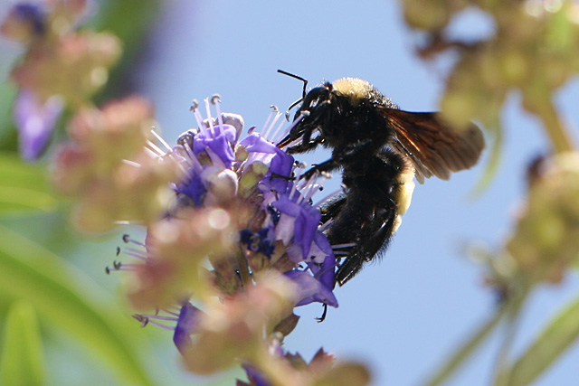 Bumblebee on Vitex blooms