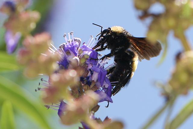 Bumblebee on Vitex blooms