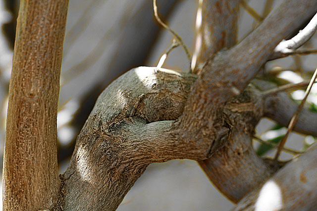 Vitex branches