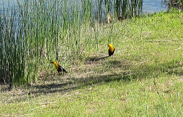 Photo of two yellow headed blackbirds