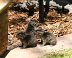 Juvenile rock squirrels