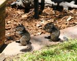 Juvenile rock squirrels