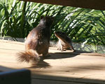 Rock squirrel mother putting kit on notice