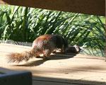 Rock squirrel kit: 'aww, ma...do I hafta?'